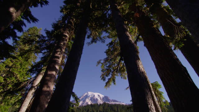 tilt down from low angle medium shot of treetops to wide shot snowy mount rainier and pine forest with reflection in pond in foreground - mt rainier national park stock videos & royalty-free footage