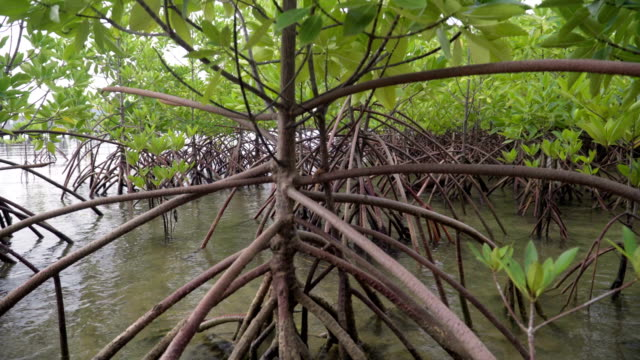 from root to tree top of mangrove tree - mangrove tree stock videos & royalty-free footage