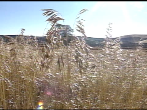 from wheat field fg to the palouse fields, aka palouse prairie, large wheat field w/ large hills bg, bright sun in clear blue sky bg, some sunrays,... - palouse stock videos & royalty-free footage