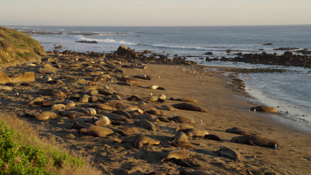 ZOOM IN from WIDE to MEDIUM SHOT large group of northern elephant seals lie on beach