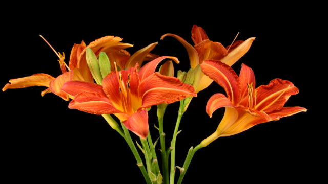 from youth to age in a day lily, timelapse - day lily stock videos & royalty-free footage