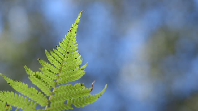fronds of a fern-like plant wave in the breeze against a defocussed forest background, new south wales, australia. - fern stock videos & royalty-free footage