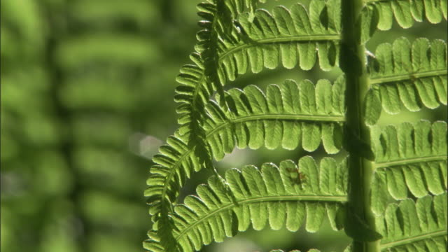fronds of ostrich fern (matteuccia struthiopteris) in forest, russia - fern stock videos & royalty-free footage