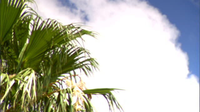 Fronds on large Cabbage palm tree moving in light breeze cloud BG