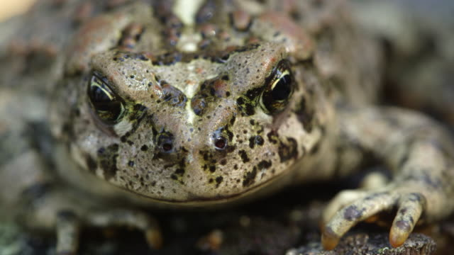 Front macro view of Western Toad
