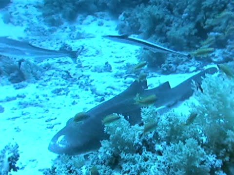 nurse shark on sea floor. nurse shark w/ remoras, coral reef bg. - remora fish stock videos & royalty-free footage