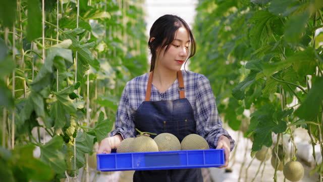 ビーガンと健康的な食事とライフスタイルのための販売に農業農場の中小企業として温室のハイテク農場でメロンを収穫するために果物農場を歩いてプラスチックバスケットを持つアジアの� - グリーンハウス点の映像素材/bロール