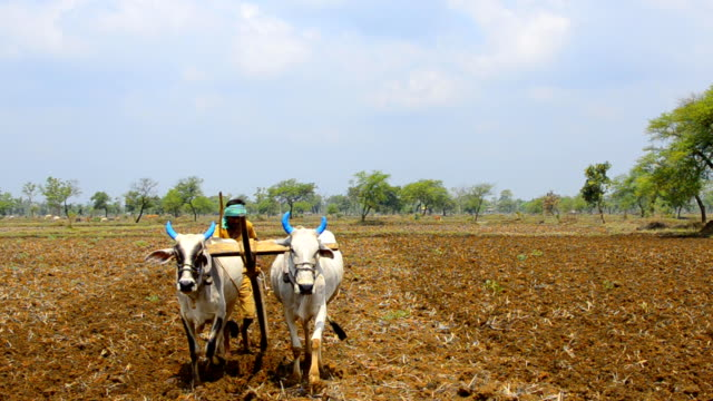 front view of indian adult farmer plowing land, traditionally with bulls and wooden plough - till stock videos & royalty-free footage