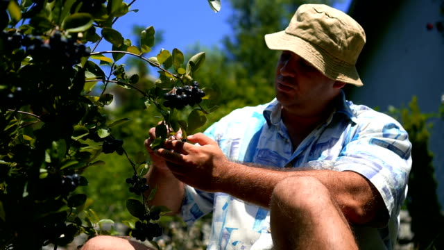 front view of man who pick and eat blueberries - blueberry stock videos and b-roll footage