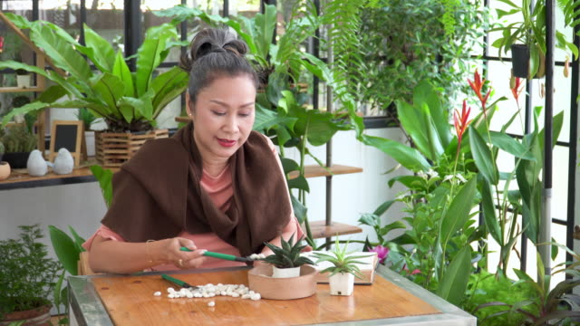 front view of senior beautiful woman planting tropical tree in tiny pot as cactus with happiness, relaxation in an indoor garden of a greenhouse as hobbies, and small business. lifestyle of asian active seniors with white hair after retirement as florist. - tropical tree stock videos & royalty-free footage