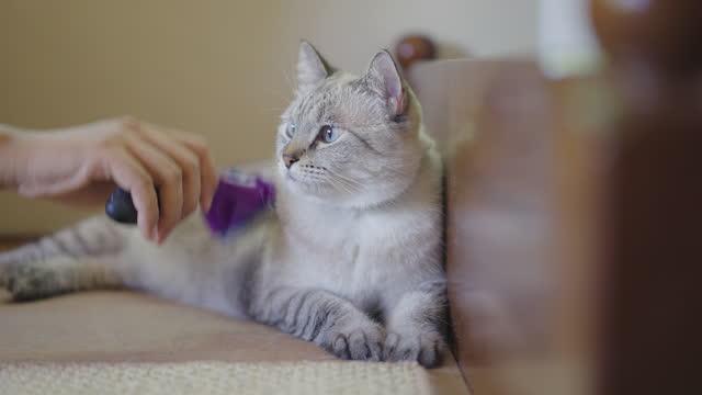 手入れされているシャム・タビー猫の正面図 - ショートヘア種の猫点の映像素材/bロール