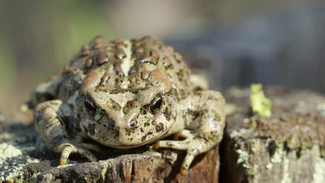 Front view of Western Toad on stump