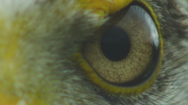 ecu frontal eyeball of bald eagle filling frame - animal eye stock videos & royalty-free footage