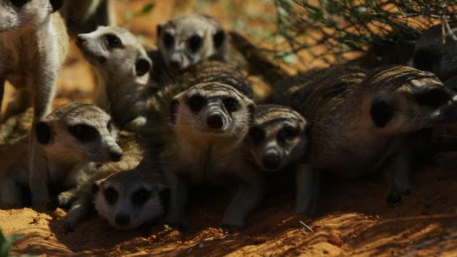 frontal cu faces of meerkat group looking at predator - mellanstor djurflock bildbanksvideor och videomaterial från bakom kulisserna