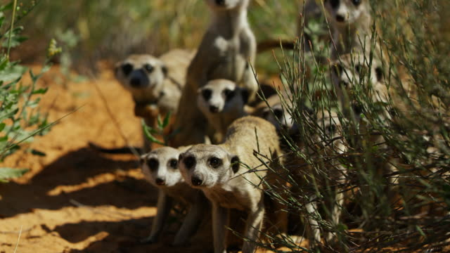 ms td frontal faces of meerkat group looking at predator - medium group of animals stock videos & royalty-free footage
