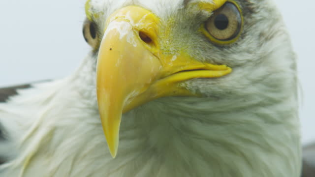 ecu frontal head of bald eagle with wing raised in background - eagle stock videos & royalty-free footage
