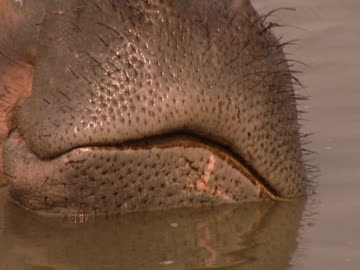 front-on close up of a hippopotamus's snout (hippopotamus amphibious), partially submerged in water. shot in luangwa, zambia. - fronton bildbanksvideor och videomaterial från bakom kulisserna