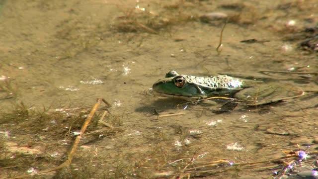 Frosch fängt Fliege. Frog catches fly.