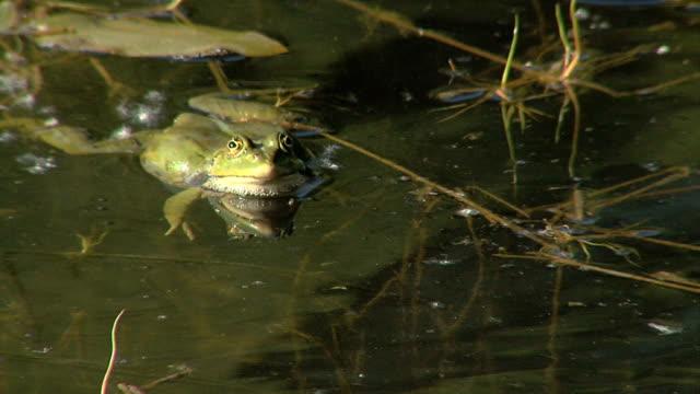 Frosch quakt im Wasser