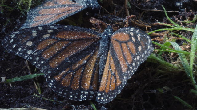 tl frost and ice form on dead monarch butterflies, mexico - death stock videos & royalty-free footage