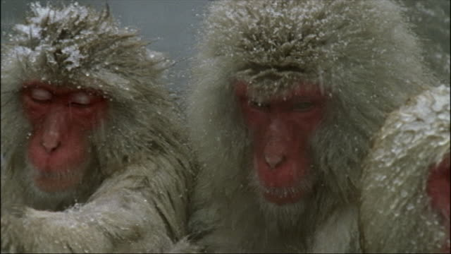 frost clings to japanese macaques as they lie in a hot spring. - macaque stock videos & royalty-free footage