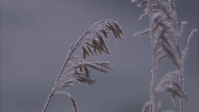 frost clings to long winter grasses. - kälte stock-videos und b-roll-filmmaterial