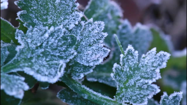 vidéos et rushes de frost clings to the green leaves of wild grass. - givre