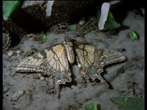 Frost covers dead tiger swallowtail butterfly