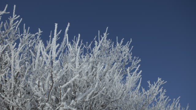 Frost crystals melt off tree branches.