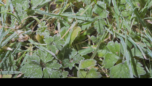 T/L frost forming on buttercup (Ranunculus sp.) leaves, UK