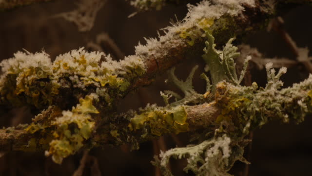 T/L frost growing on tree lichens take 1, UK