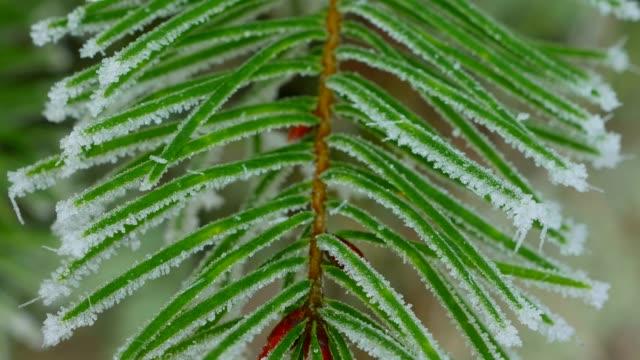 frost on fir needles, kirf, rhineland palatinate, germany, europe - pinacee video stock e b–roll