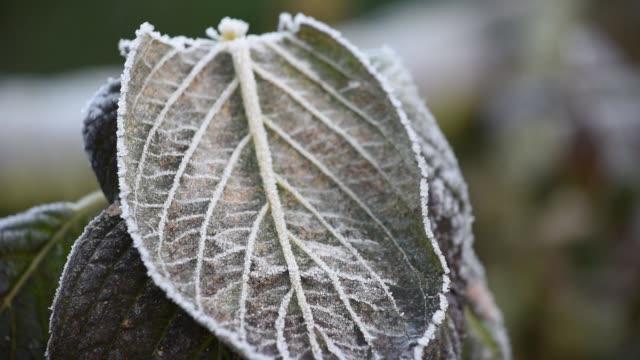 Frost on Hydrangea leaves