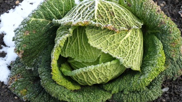 frost on savoy cabbage - savoy cabbage stock videos & royalty-free footage