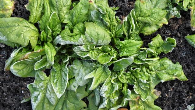 frost on spinach - gefrorenes wasser stock-videos und b-roll-filmmaterial