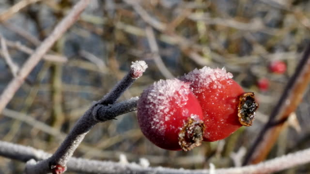 Frost on the fruit of a rose