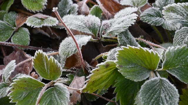 Frost on the Strawberry bed-Winter