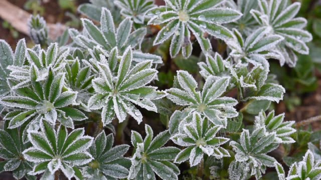 Frosted Lupin Leaves-Winter