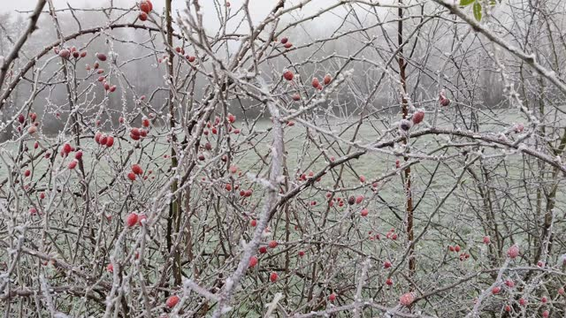 frosted rose hips on a dog rose. - seed stock videos & royalty-free footage