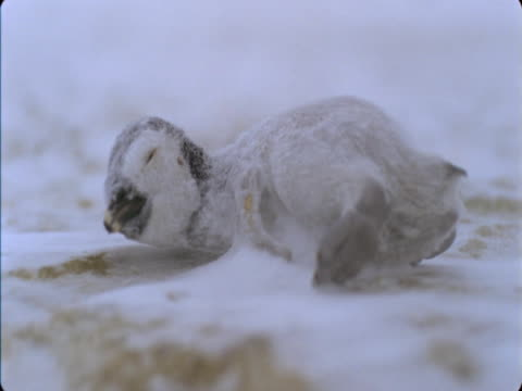 frozen emperor penguin chick lies on snow. - flightless bird stock videos & royalty-free footage