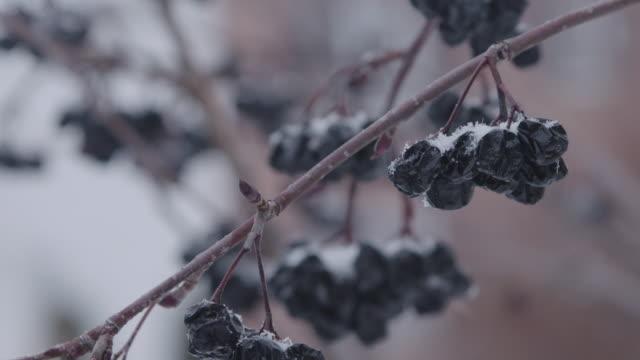 Frozen grapes in ice wine vineyard