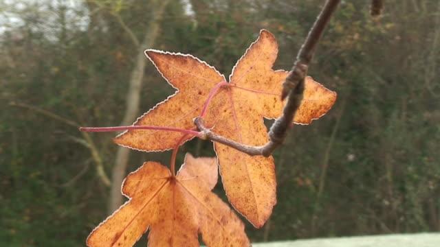 Gefrorene leafs
