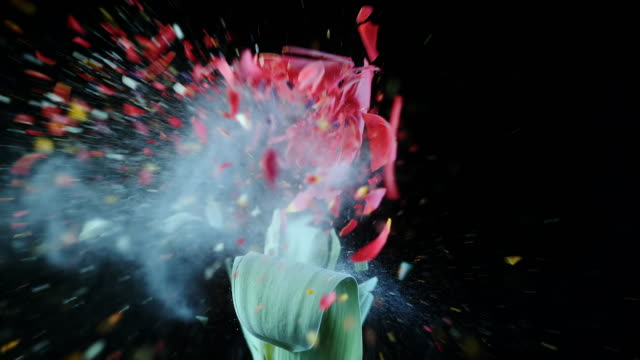 slo mo frozen red tulip exploding - man made stock videos & royalty-free footage