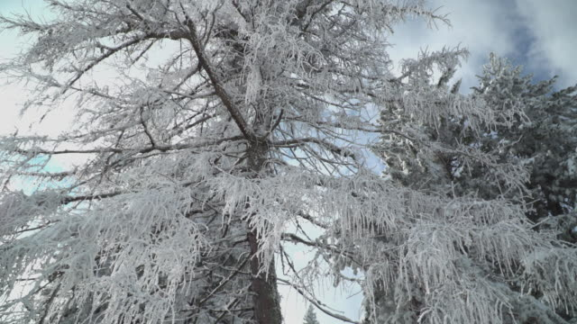 frozen tree with snow and ice - pinaceae stock videos & royalty-free footage