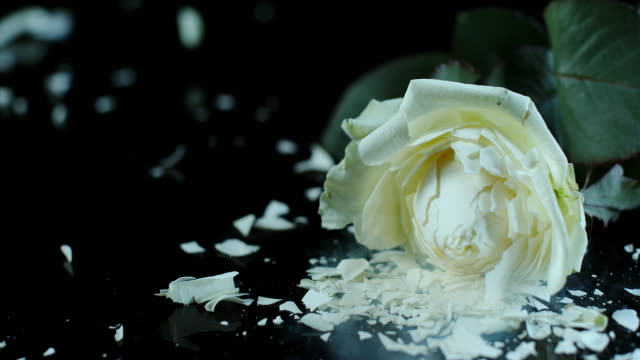 slo mo frozen white rose shatters on the black surface - tan stock videos and b-roll footage