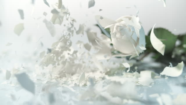 SLO MO Frozen white rose shatters on the white surface