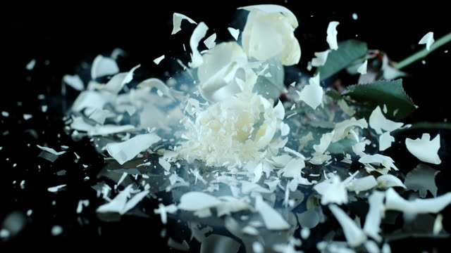 SLO MO LD Frozen white rose smashing on black surface