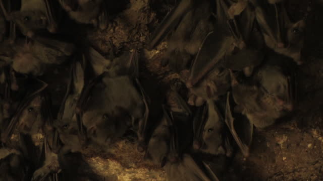 Fruit bat (family Pteropodidae) females with young hanging on cave ceiling, Israel