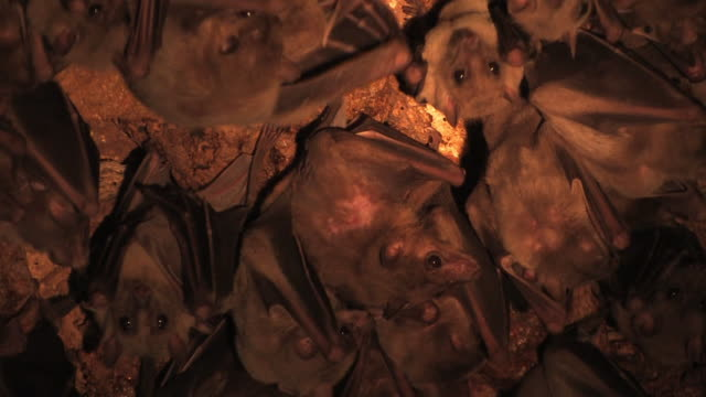 fruit bat (family pteropodidae) females with young hanging on cave ceiling, israel - pipistrello video stock e b–roll