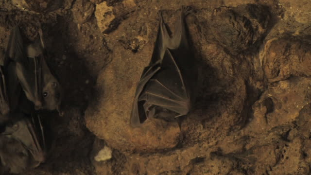 Fruit bat (family Pteropodidae) hanging on cave ceiling, zoom out to hundreds, Israel